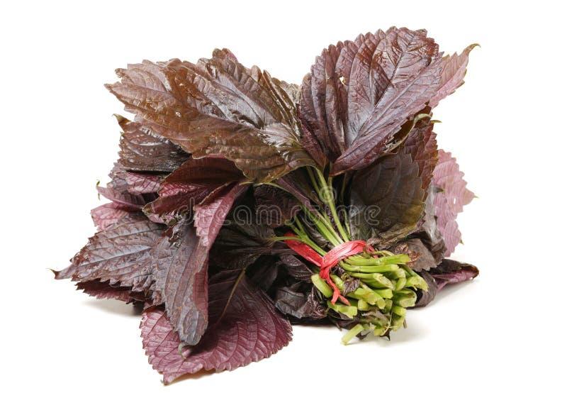 As folhas ervais do bicolorlaciniata vermelho dos ocymoides do Perilla empacotam fotos de stock