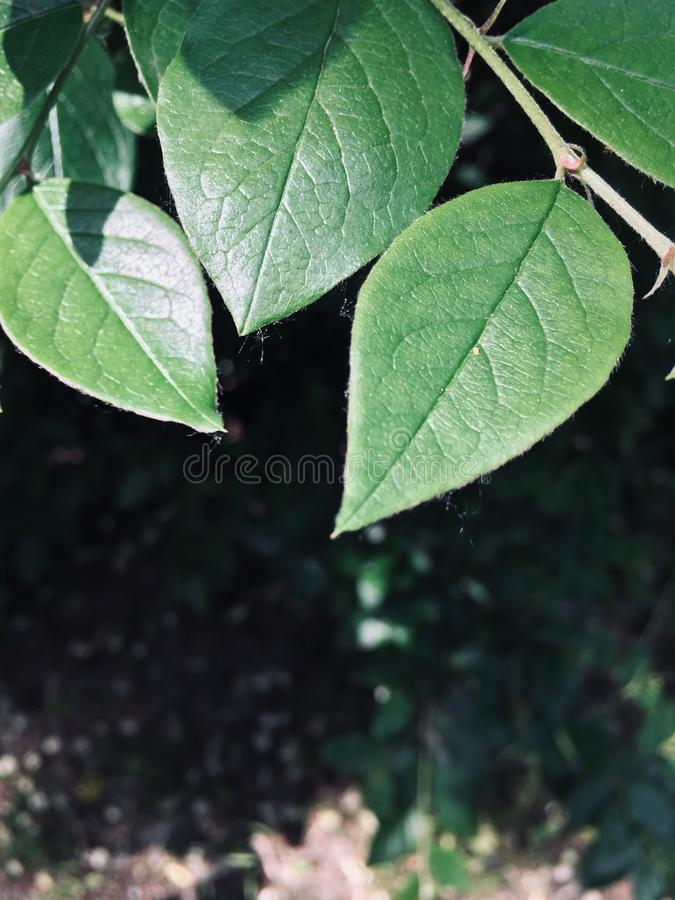 As folhas estão cintilando assim no sol foto de stock royalty free