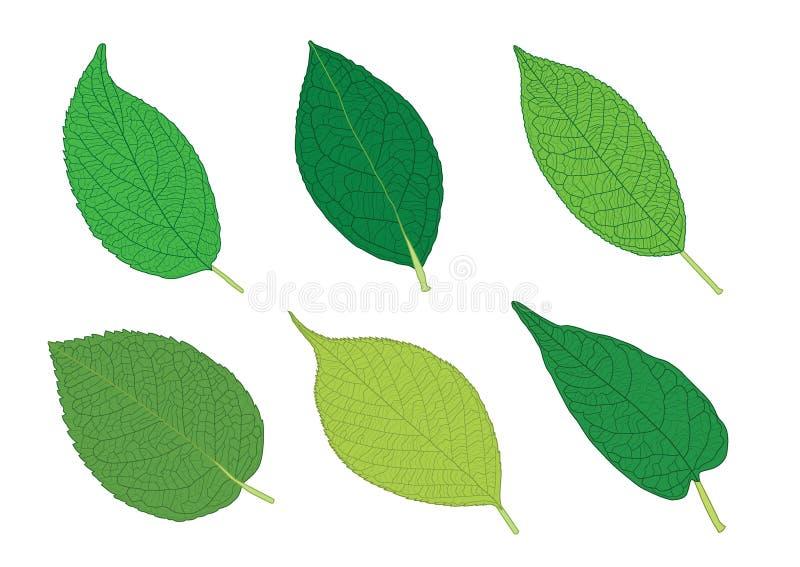 As folhas esverdeiam para colorir as folhas frescas no fundo branco ilustração stock
