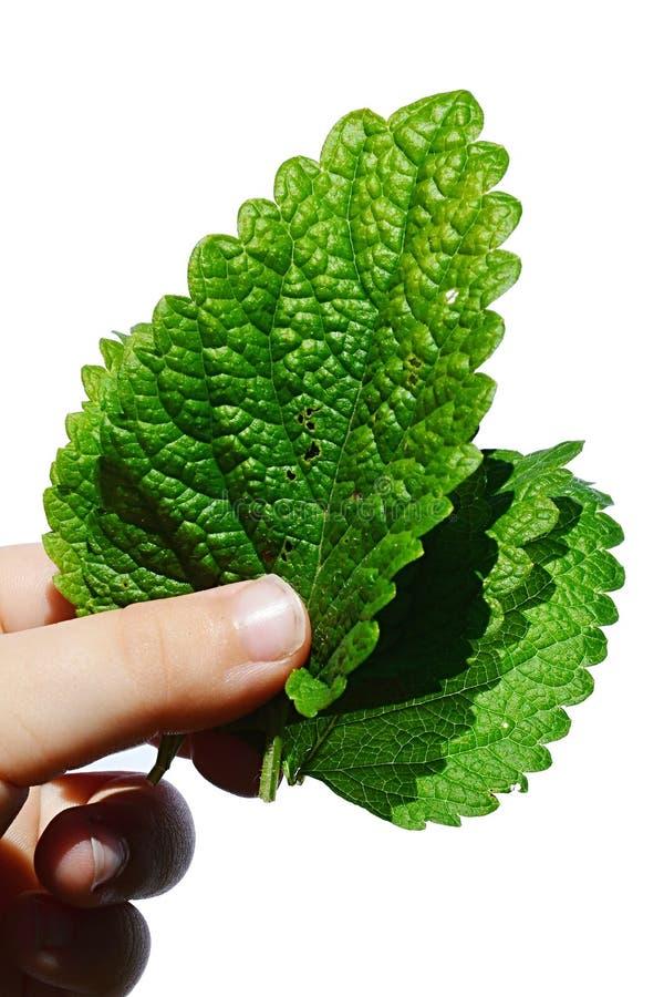 As folhas frescas da erva Melissa Officinalis do erva-cidreira realizaram na mão esquerda da moça, fundo branco foto de stock royalty free