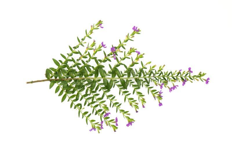 As folhas frescas do verde ramificam e picam a flor isolada no fundo branco do arquivo com trajeto de grampeamento fotos de stock royalty free