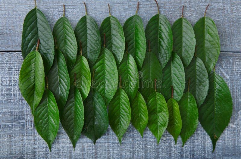 As folhas frescas verdes da árvore de cereja modelam o fundo imagens de stock royalty free