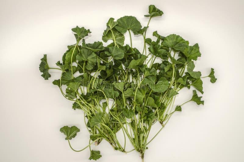 As folhas macias do ziguezague em hastes, grama subdimensionado Malva Armenian da mola adiantada são usadas no alimento e na medi fotografia de stock
