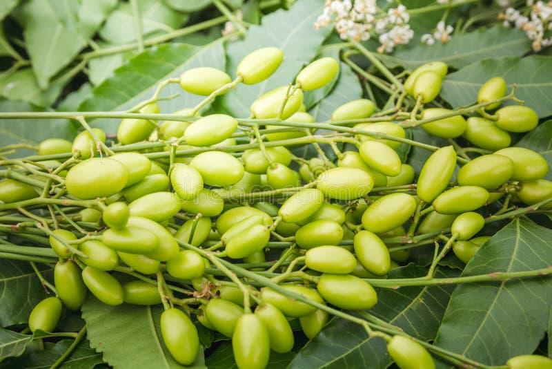 As folhas medicinais do neem com frutos fecham-se acima fotos de stock