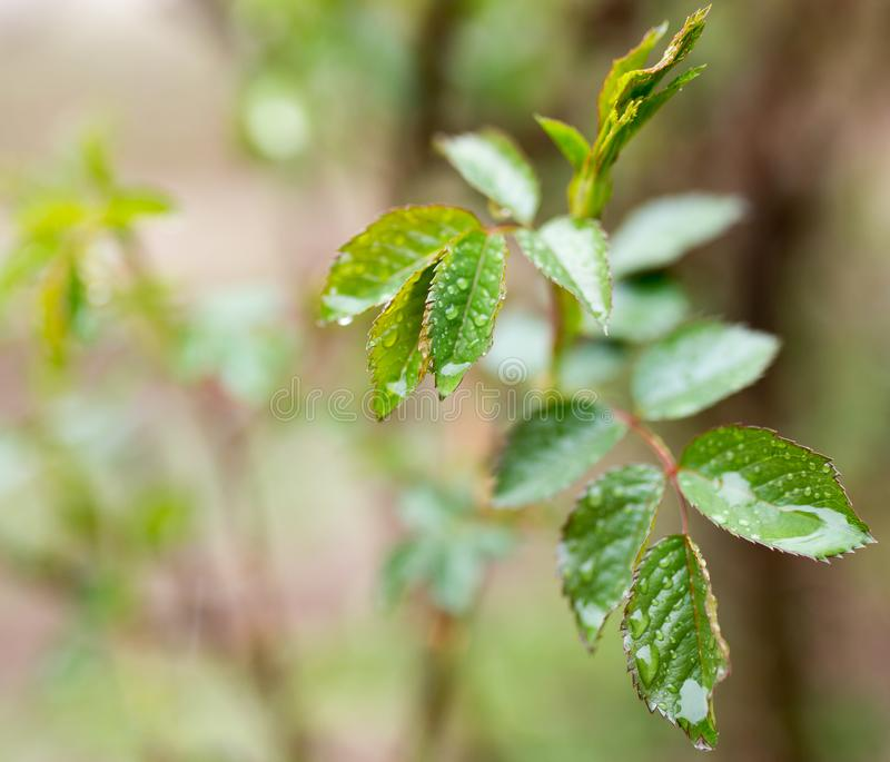 As folhas na planta após a chuva imagem de stock