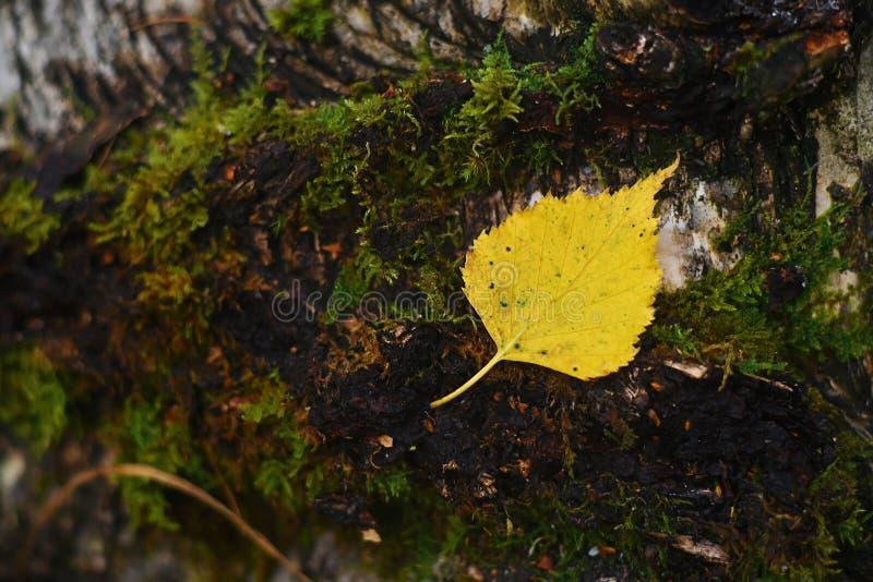 As folhas no parque do outono A floresta do outono é bonita Yello foto de stock