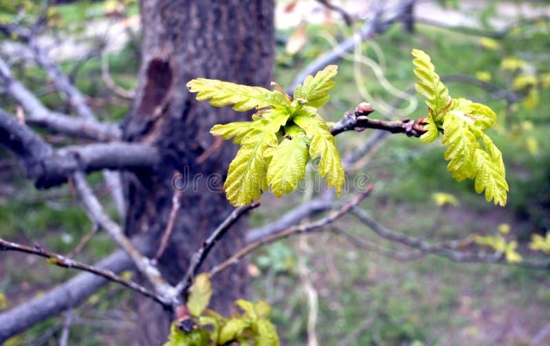 As folhas novas do carvalho imagem de stock