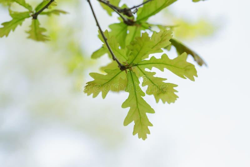 As folhas novas do carvalho fecham-se acima fotografia de stock