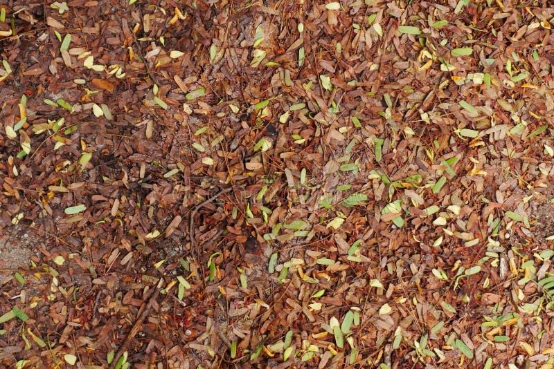 As folhas secadas do tamarindo caem na terra foto de stock