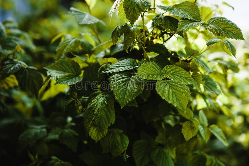 As folhas suculentas do corinto crescem no jardim foto de stock royalty free