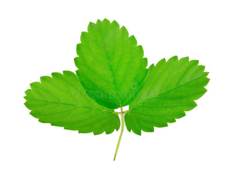 As folhas verde-clara fecham-se acima no fundo branco fotos de stock royalty free