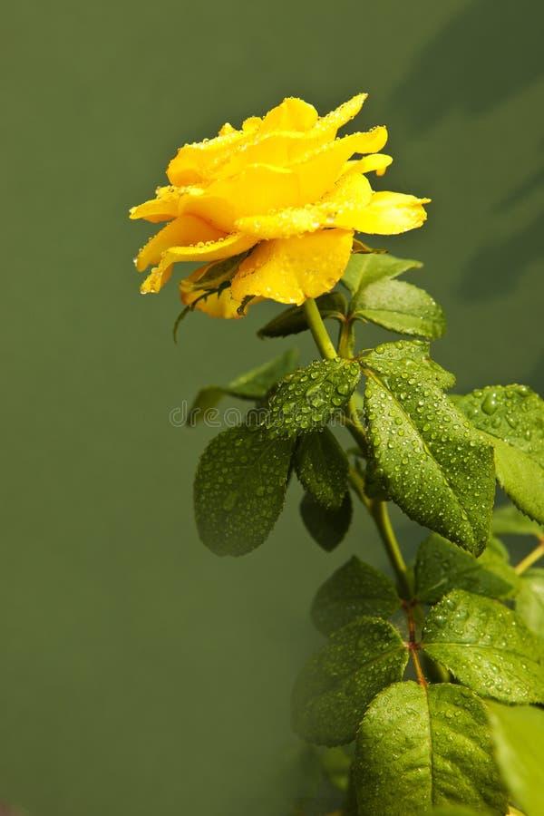 As folhas verdes amarelas de Rosa em um fundo verde, significado das rosas brilhante, alegre e alegre criam sentimentos mornos e  fotografia de stock royalty free