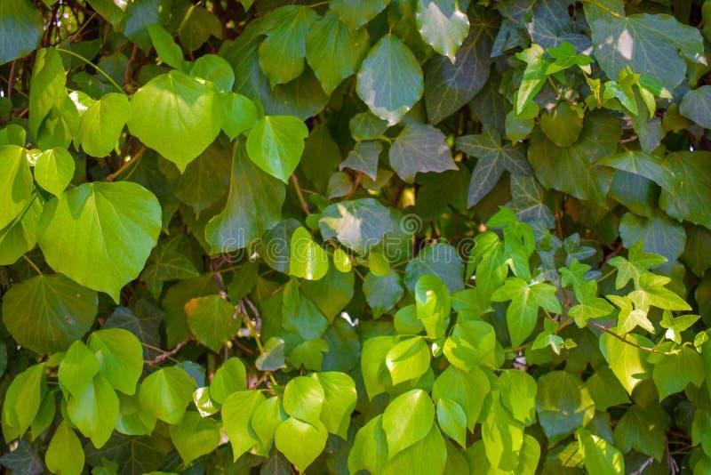 As folhas verdes da mola foto de stock royalty free