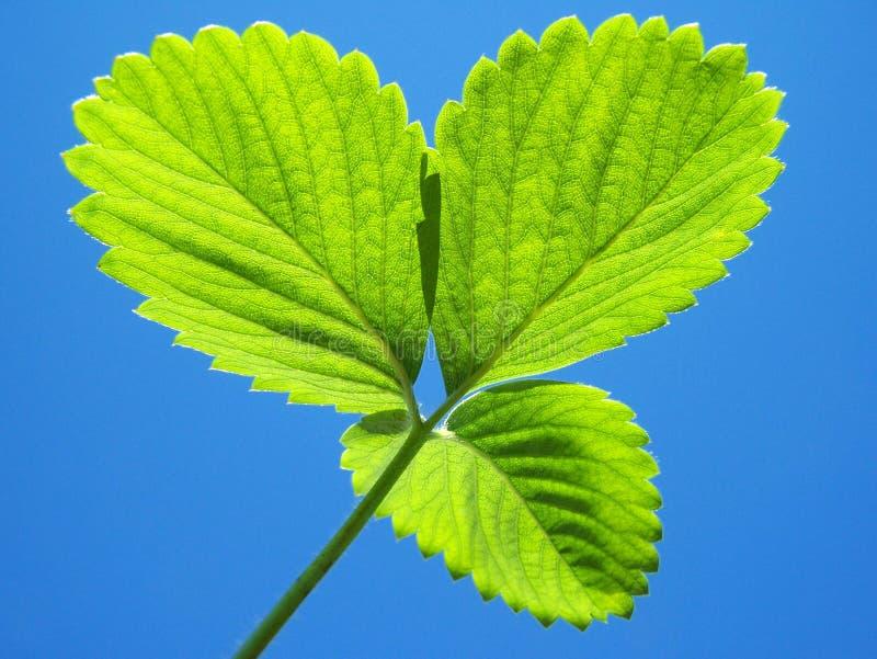 As folhas verdes da morango fecham-se acima fotos de stock royalty free
