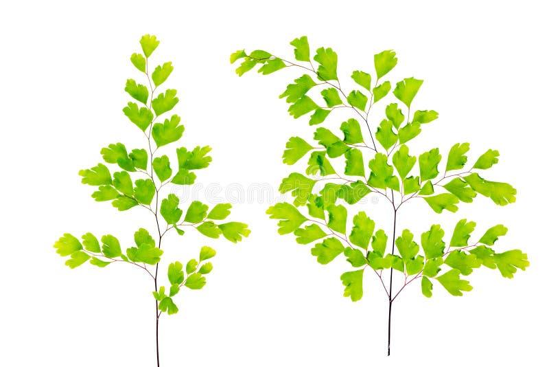 As folhas verdes da samambaia de maidenhair são isoladas no branco foto de stock royalty free