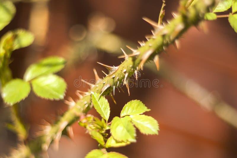 As folhas verdes novas de uma rosa crescem de um ramo coberto com as espinhas imagens de stock