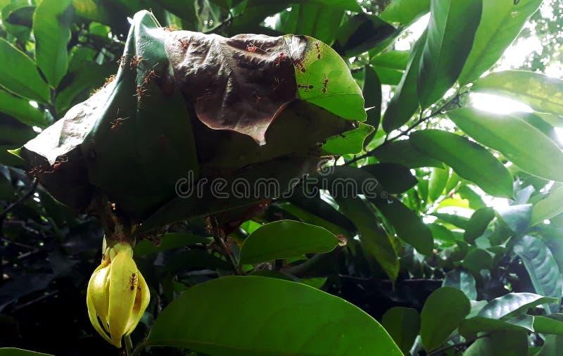 As formigas aninham-se na árvore, perto das flores amarelas fotografia de stock royalty free