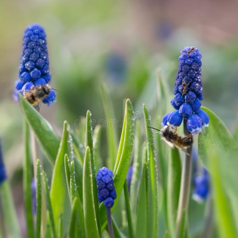 As formigas e as abelhas do close up na primeira mola roxa florescem o Muscari foto de stock royalty free