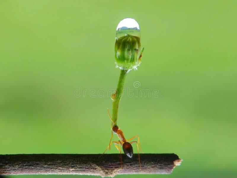 As formigas levantam a carga da água imagem de stock royalty free