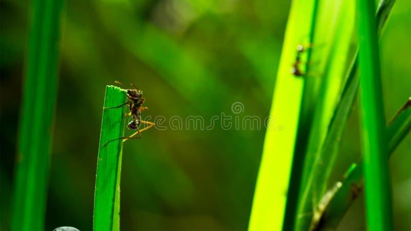 As formigas minúsculas do grama-cortador cortam a lâmina e colocaas dentro ao jardim do fungo A grama podre alimenta o fungo e o  imagem de stock