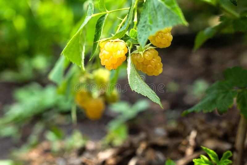 As framboesas amarelas, bagas orgânicas crescentes fecham-se acima foto de stock royalty free