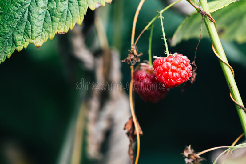As framboesas maduras que crescem no arbusto saem do fundo imagem de stock