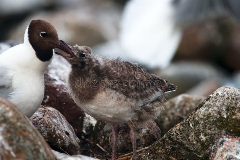 As gaivota de cabeça negra alimentam seus pintainhos foto de stock