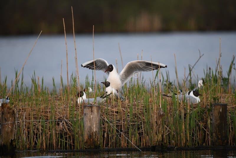 As gaivota de cabeça negra estão fazendo o amor imagens de stock