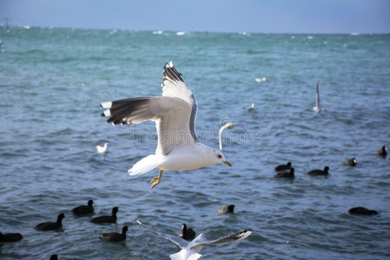 As gaivota de mar fotografia de stock royalty free