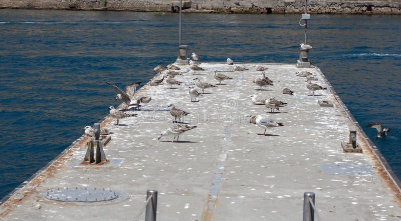 As gaivota de mar fotos de stock royalty free