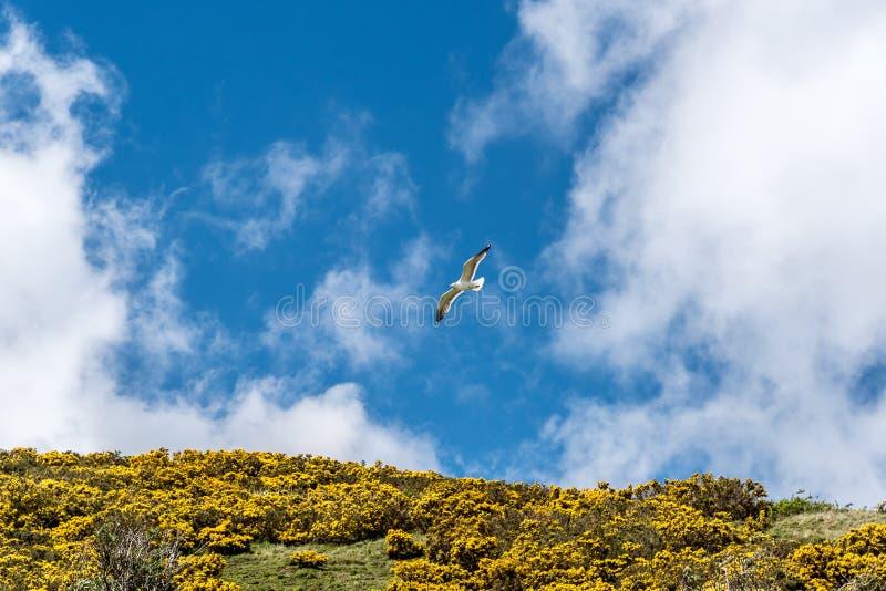 As gaivota & o tojo florescem no ` s Seat de Arthur fotografia de stock royalty free