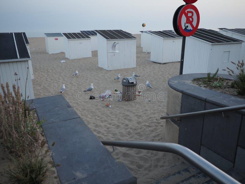 As gaivota pegaram o alimento de um escaninho de lixo na praia de Ostende fotos de stock