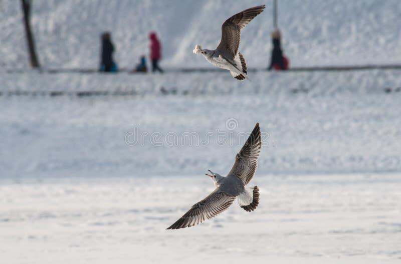 As gaivotas selvagens lutam pela mosca do inverno do alimento fotografia de stock royalty free