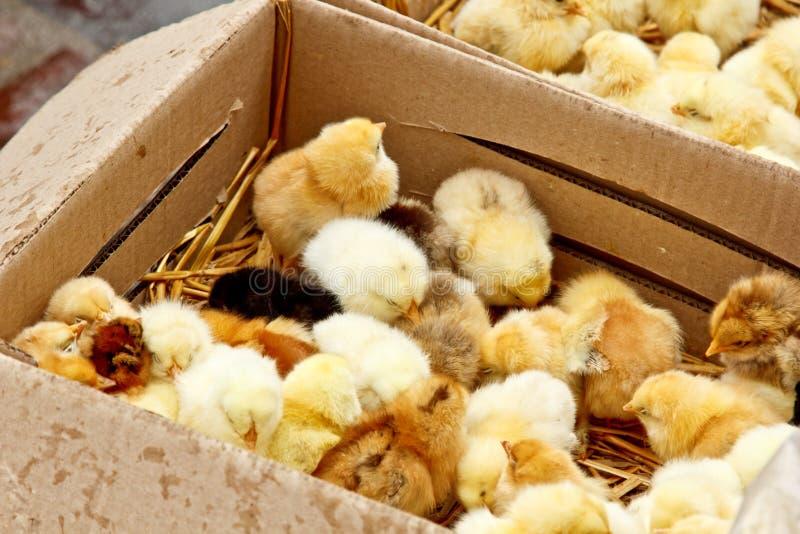 As galinhas de grelha pequenas amarelas e pretas com pena no corpo sentam-se em uma opini?o superior do close-up da caixa de cart foto de stock