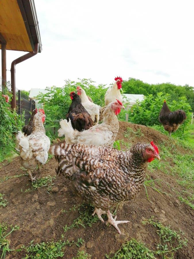 As galinhas e os galos andam no gramado imagens de stock