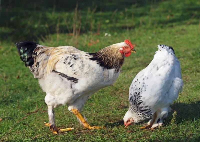 As galinhas novas procuram uma forragem em uma grama imagem de stock