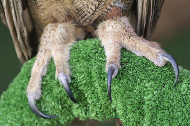 As garras da Eagle-coruja do eurasian (bubão do bubão) foto de stock