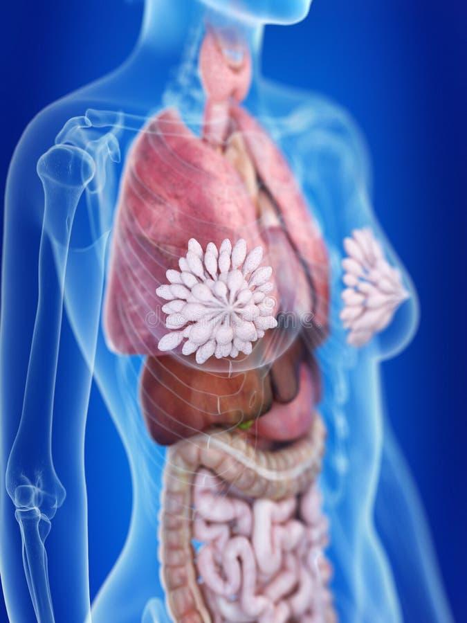 As glândulas mamários de uma mulher ilustração do vetor