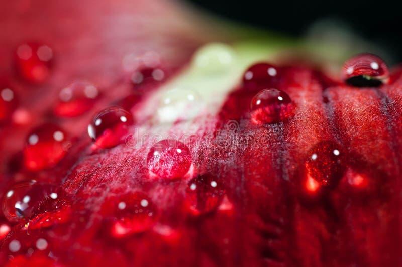 As gotas da água fecham-se acima do tiro macro na flor vermelha imagem de stock