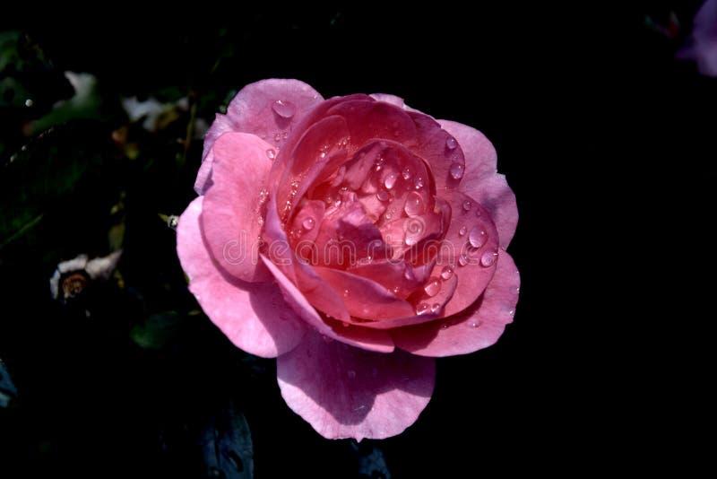 As gotas de água no cor-de-rosa aumentaram fotografia de stock