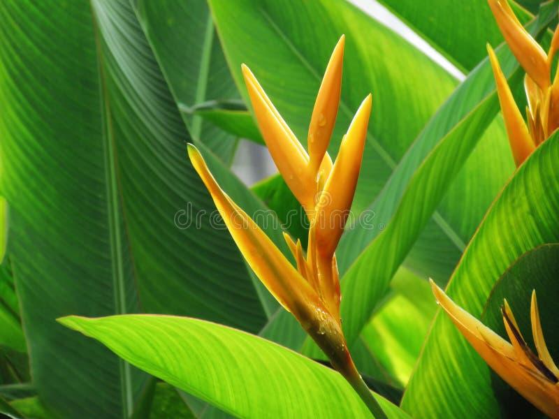 As gotas em garras da flor ou da lagosta de Heliconia florescem, flor alaranjada com fundo verde das folhas fotos de stock