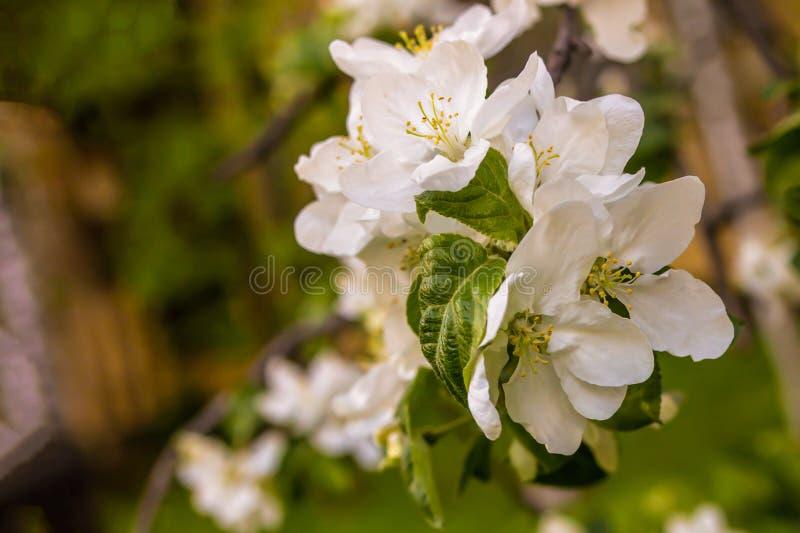 As grandes flores brancas esverdeiam deixam o projeto frutado do close-up do pêssego da cereja da árvore floral fotografia de stock