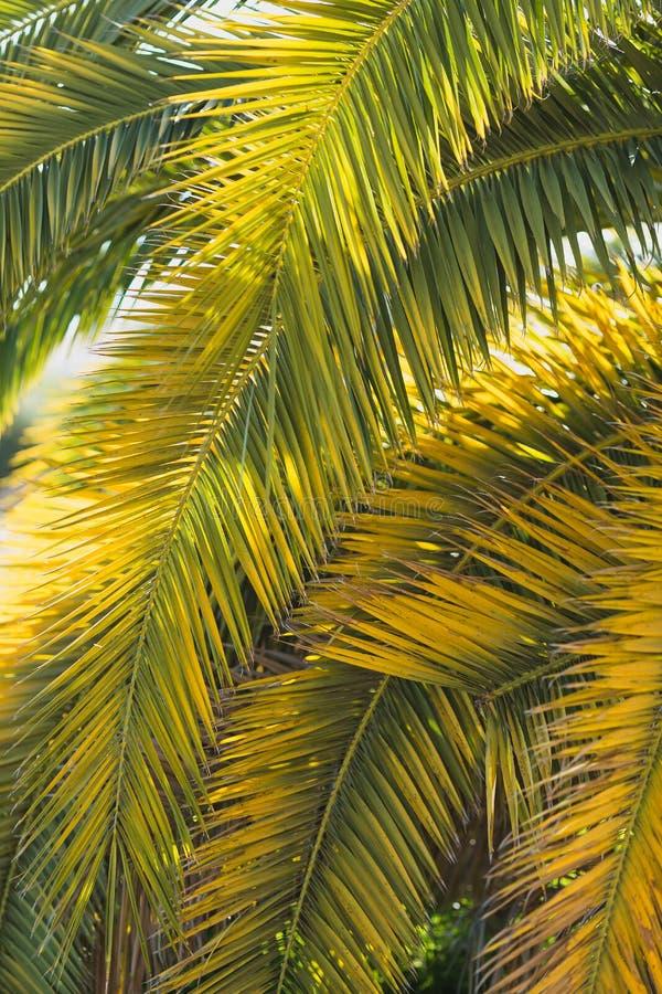 As grandes folhas de palmeira da data são verde-amarelas no luminoso fotos de stock royalty free