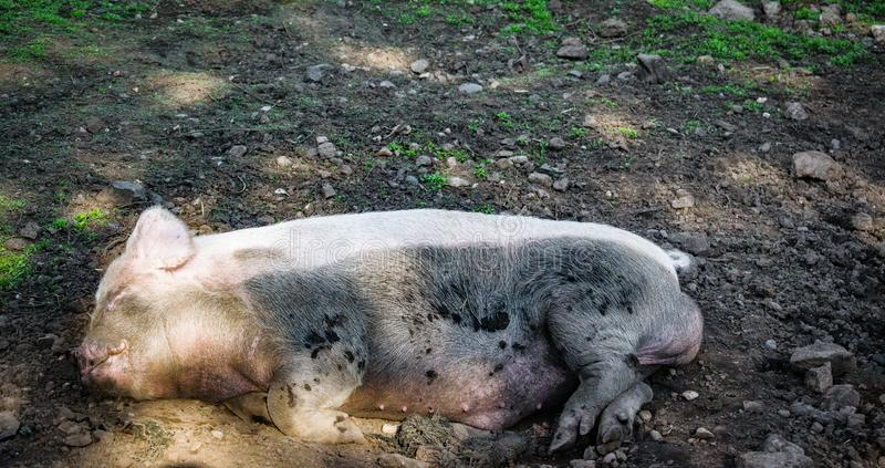 As happy as a pig in...... stock images
