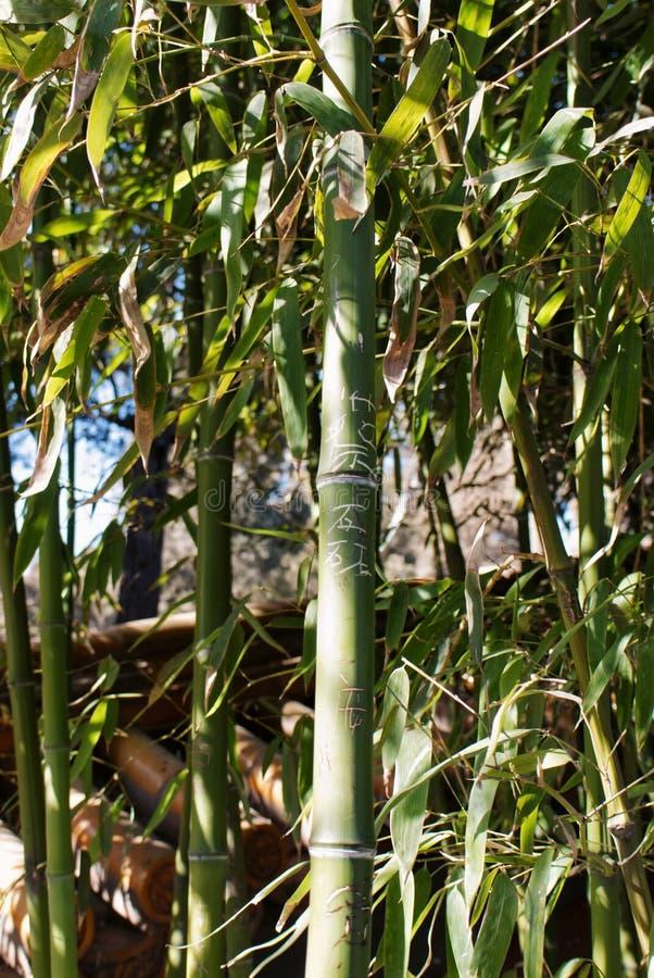 As hastes de bambu estruturais verdes fecham-se acima na perspectiva da folha de bambu em um parque de Jingshan fotografia de stock royalty free