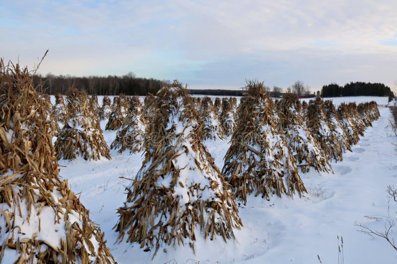 As hastes do milho de Stooked alinharam no campo em uma noite calma na neve foto de stock