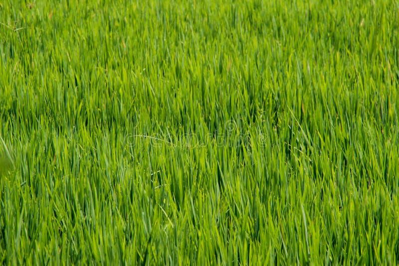 As hastes e os pontos do arroz são fotografados em detalhe imagem de stock