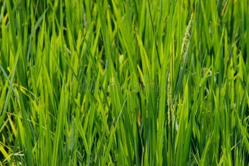 As hastes e os pontos do arroz são fotografados no detai fotografia de stock royalty free