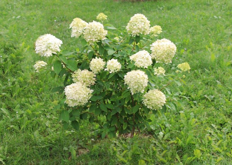 As hortênsias brancas estão dando boas-vindas a amigos à bola Flores brancas da hortênsia em um fundo isolado imagem de stock royalty free