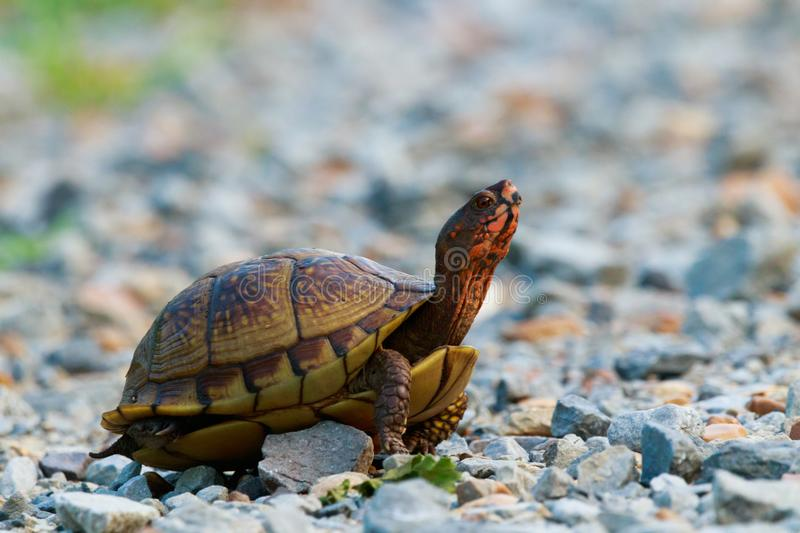 Turtle Turtle. As I was leaving from a morning shoot at the Bald Knob Wildlife Refuge this little Red Eared Box Turtle decided to say hi. Bald Knob, Arkansas royalty free stock image